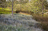 Urban park landscape design meadow garden, with gray foliage grass Leymus condensatus 'Canyon Prince' and Juncus polyanthemus in Jeffrey Open Space, Irvine California