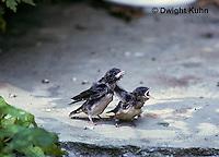 BA14-001z  Barn Swallow - young on ground - Hirundo rustica