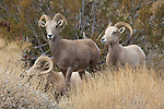 Desert bighorn sheep at Whitewater Canyon