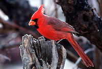 Northern Cardinal-male. (Cardinalis cardinalis). Arizona.