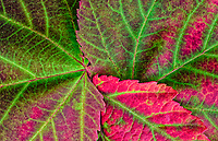 close-up of three autumn leaves