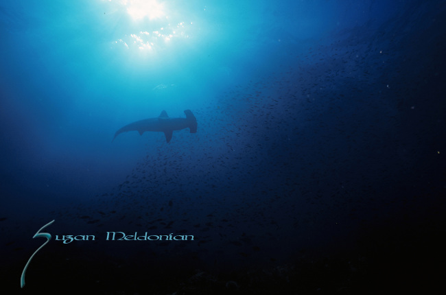 Hammerhead shark silhouette in sunlight, Sphyrna mokarran, largest species of hammerhead shark