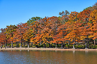 Cypress Along the Lake - Colorful fall cypress trees growing along bank on lake Nimrod in Arkansas in the National forest. This wilderness is full of tall pines, cypress, along with many colorful trees in autumn time. The cypress trees along the lake had that wonderful fall color of rusty reds and oranges as they line up along the banks of the lake. It was a wonderful fall scene with lot of color.