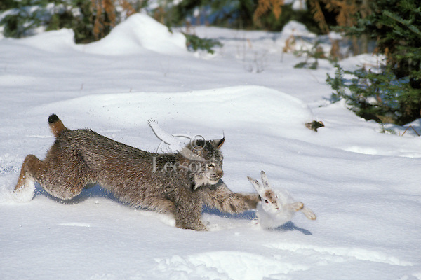 Canada lynx (Lynx canadensis) or Canadian lynx hunting snowshoe hare.
