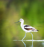 Avocet and Stilt