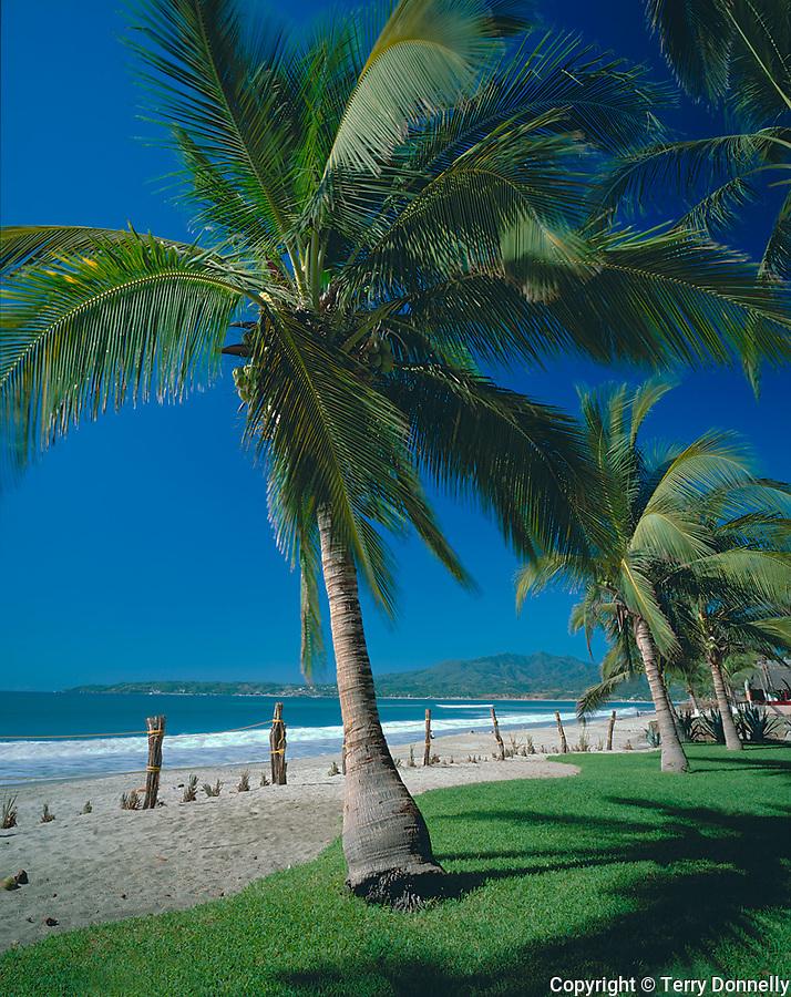 Nayarit, Mexico<br /> Coconut Palms (Cocos nucifera) on the beach of Bahia de Banderas (Banderas Bay) near the village of Bucerias