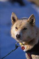 "L Fiedler's Dog """"Aranxtic""""  McGrath Iditarod 99 AK"""