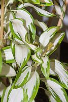Alstroemeria Rock 'n' Roll ('AlsDuno1') variegated foliage