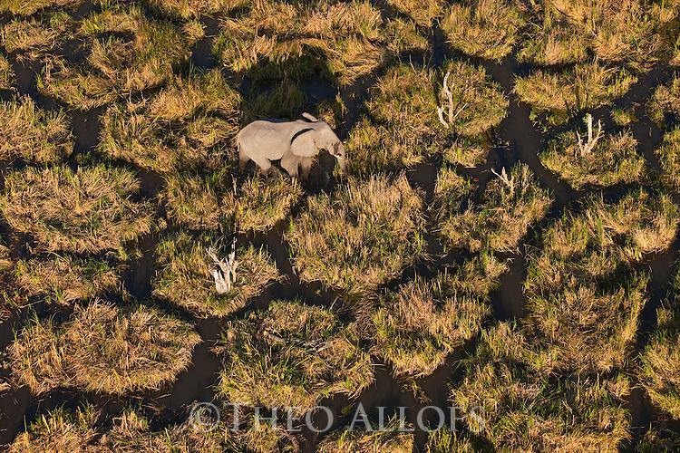 Botswana, Moremi Game Reserve, Okavango Delta, elephant (Loxodonta africana), bull feeding in swamp, aerial view