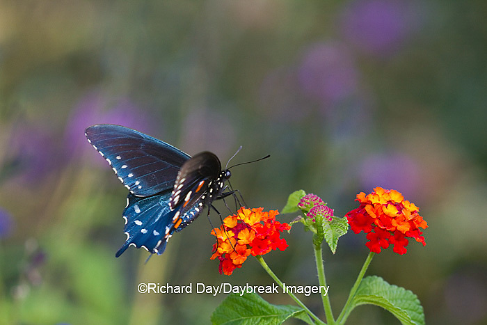 03004-01318 Pipevine Swallowtail butterfly (Battus philenor) male on Red Spread Lantana (Lantana camara) Marion Co., IL