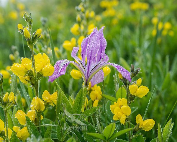 Tough Leaf Iris (sometimes also called Oregon Iris, or wild iris) with golden peas.  Pacific Northwest.  Spring.