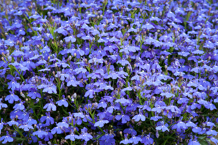 Lobelia erinus [Laguna Trailing Dark Blue Improved] = 'Loblamoubl' (Laguna Series), Syngenta Seeds, RHS Wisley container lobelia trial June 2011.