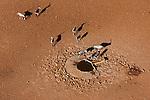 Namibia, Namib Desert, Namibrand Nature Reserve, aerial of oryx (Oryx gazella) around artificial water hole