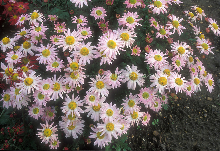 Chrysanthemum innocence plant flower stock photography pale pink fall flowers of chrysanthemum innocence mightylinksfo