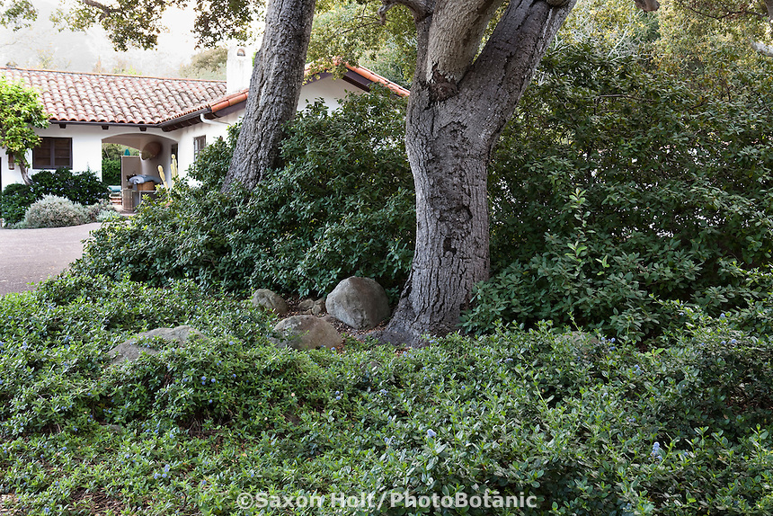 California native shrubs, groundcover Ceanothus and Coffeeberry (Rhamnus californica) in shade under Coast Live Oak trees (Quercus agrifolia) in Santa Barbara garden