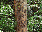 Dogwood and evergreens, Yosemite National Park, California