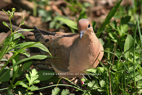 Mourning Dove, Zenaida macroura, Walking In The Grass
