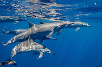 Hawaiian spinner dolphins, Stenella longirostris longirostris, Kona Coast, Big Island, Hawaii, USA, Pacific Ocean