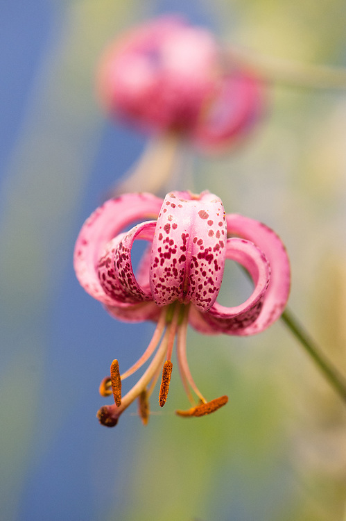 Lilium martagon (Turk's cap lily), early July. Unknown cultivar.