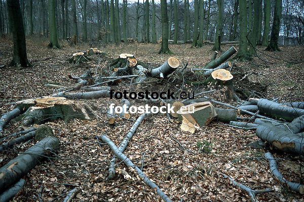 felled beeches in autumnal forest<br /> <br /> hayas cortadas en un bosque de oto&ntilde;o<br /> <br /> gef&auml;llte Buchen in Herbstwald<br /> <br /> Original: 35 mm slide transparancy