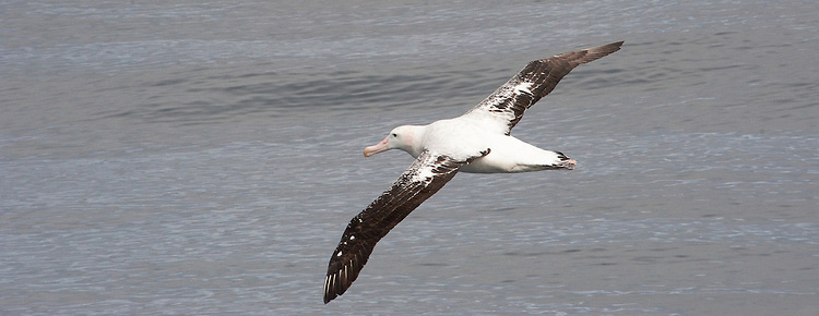 The Wandering Albatross, Snowy Albatross or White-winged Albatross, Diomedea exulans, nesting, Drake Passage, Antarctica