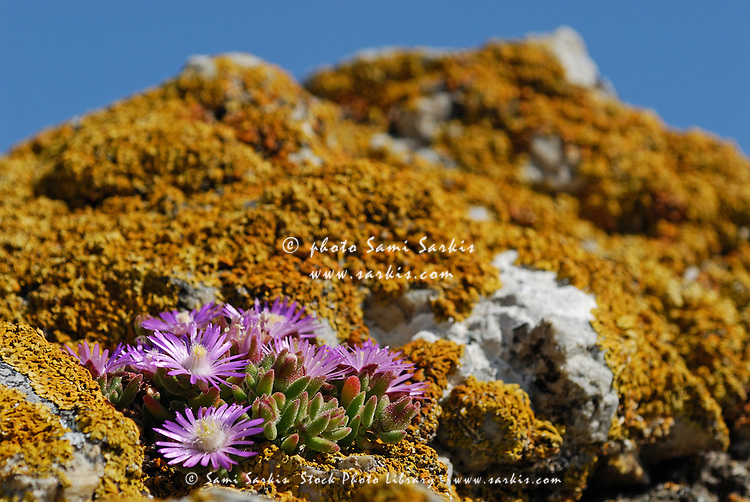 Pink flowers on mossy rock, South Weatern Cape, South Africa