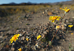 Wildflowers bloom in Death Valley, Ca., on Tuesday, March 15, 2016. <br /> Photo by Cathleen Allison