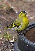 Erlenzeisig, Männchen an der Vogeltränke, Tränke, trinkend, Erlen-Zeisig, Zeisig, Carduelis spinus, Spinus spinus, siskin