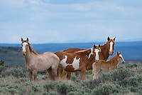 The family resemblance is unmistakable among a bandof wild horses in northwest Colorado.