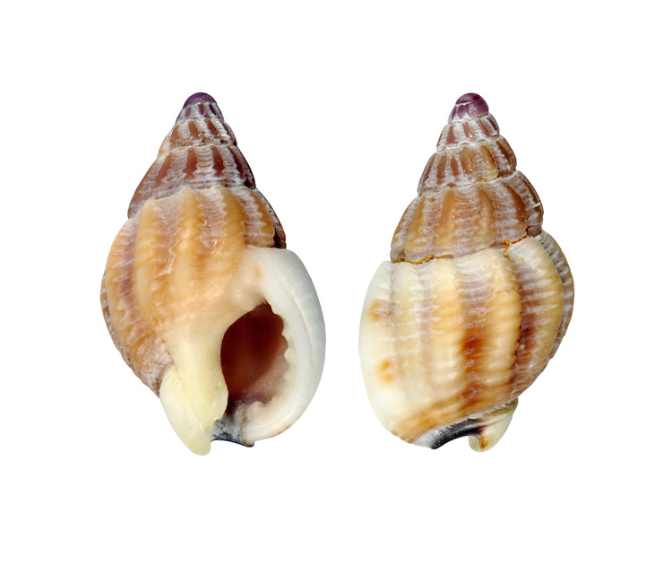Thick-lipped Dog Whelk - Hinia incrissata