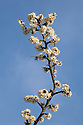 Blackthorn blossom {Prunus spinosa} Peak DIstrict National Park, Derbyshire, UK. April.