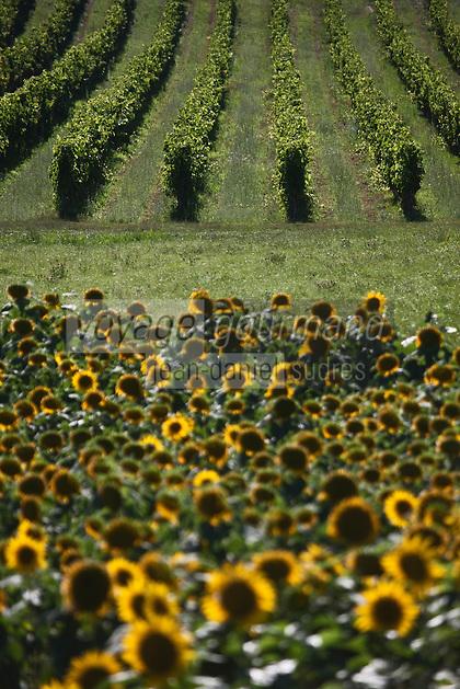 Europe/Europe/France/Midi-Pyrénées/46/Lot/Mauroux:  Vignoble AOC Cahors et champ de tournesols