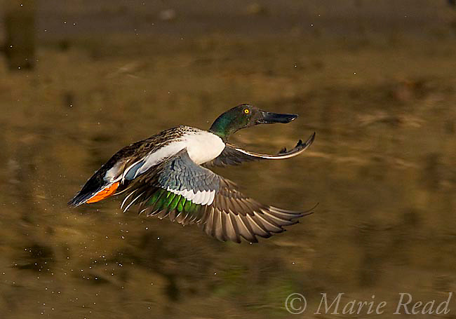 Northern Shoveler (Anas clypeata) male taking flight, Bolsa Chica Ecological Reserve, California, USA