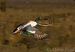 Northern Shoveler (Anas clypeata) male taking flight, Bolsa Chica Ecological Reserve, California, USA