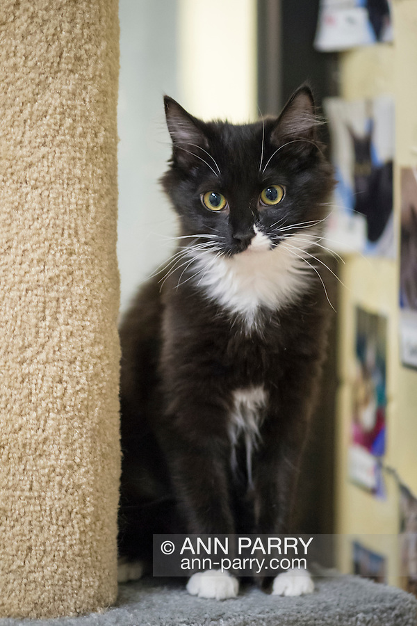 Wantagh, New York, USA. February 5, 2017. SALSA, a five month old black and white domestic female cat is sitting on a cat tree at Last Hope Animal Rescue's Open House party during Hallmark Channel's Kitten Bowl IV. Kittens in Last Hope Lions team played against kittens in North Shore Bengals team. Last Hope kittens have been part of each Kitten Bowl, whose purpose is to promote cat and kitten adoptions.