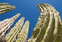 Large Cardon Cactus (Pachycereus pringlei)  Baja California, Mexico