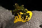 Sea slug (Notodoris gardineri)