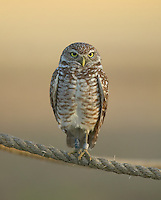 Burrowing owl (Athene cunicularia) with leg bands perched on a rope around its burrow