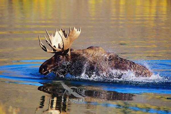 Bull moose (Alces alces), Western U.S..  Fall.