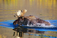 Bull moose (Alces alces), Western U.S..  Fall.