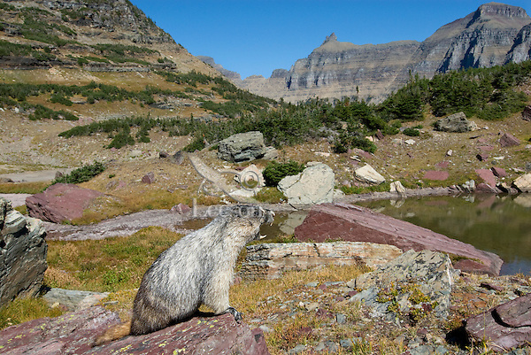 Hoary Marmot (Marmota caligata) whistling warning.  Northern Rocky Mountains, Sept.