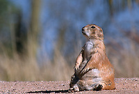 35-M02B-PDB-023    BLACK-TAILED PRAIRIE DOG (Cynomys ludovicianus) sitting, Badlands National Park, South Dakota, USA .