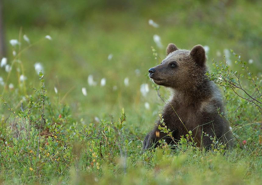 Brown Bear (Ursos arctos), cub resting, Finland, July 2012