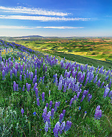 The Palouse, Whitman County, WA: Lupine blooming on Steptoe Butte with the green hills of the Palouse Country in the distance - Steptoe Butte State Park