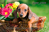 Marek, ANIMALS, REALISTISCHE TIERE, ANIMALES REALISTICOS, dogs, photos+++++,PLMP2998,#a#, EVERYDAY