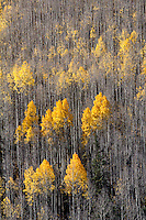 A dense forest of Aspen trees in the San Juan Mountains of Colorado, with only a few trees still holding onto thier leaves.