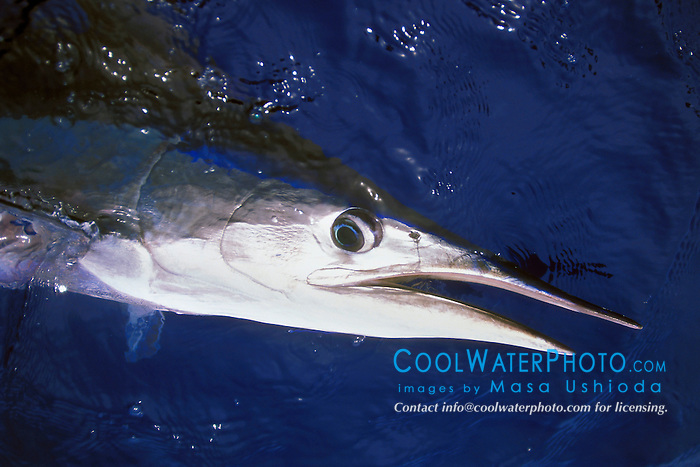 short-billed spearfish, Tetrapterus angustirostris, off Kona Coast, Big Island, Hawaii, Pacific Ocean.
