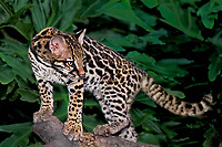 668504027 a young ocelot felis pardalis studies its surroundings while standing on a large dead log at a wildlife rescue facility in florida
