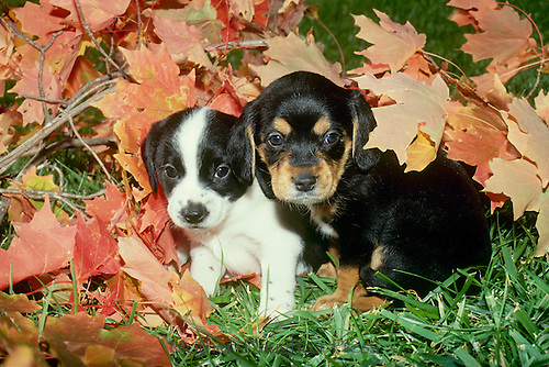 Two Puppies, playing in fall leaves