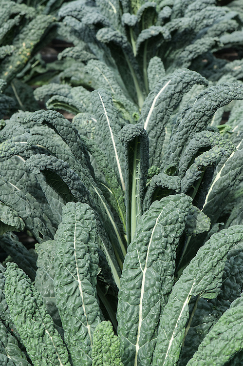 Kale 'Black Magic', early September. A new variety of the Italian black cabbage or Tuscan kale, bred to perform better in the UK climate, allegedly with better cold tolerance, colour, leaf shape and bolt resistance than current Italian varieties.